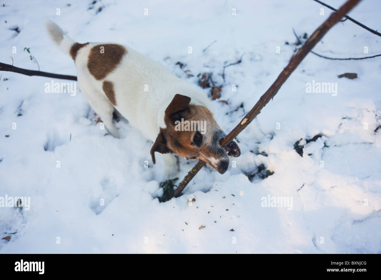 Pet Terrier dog plays harmlessly at biting woodland twigs in a home woodland garden. - Stock Image