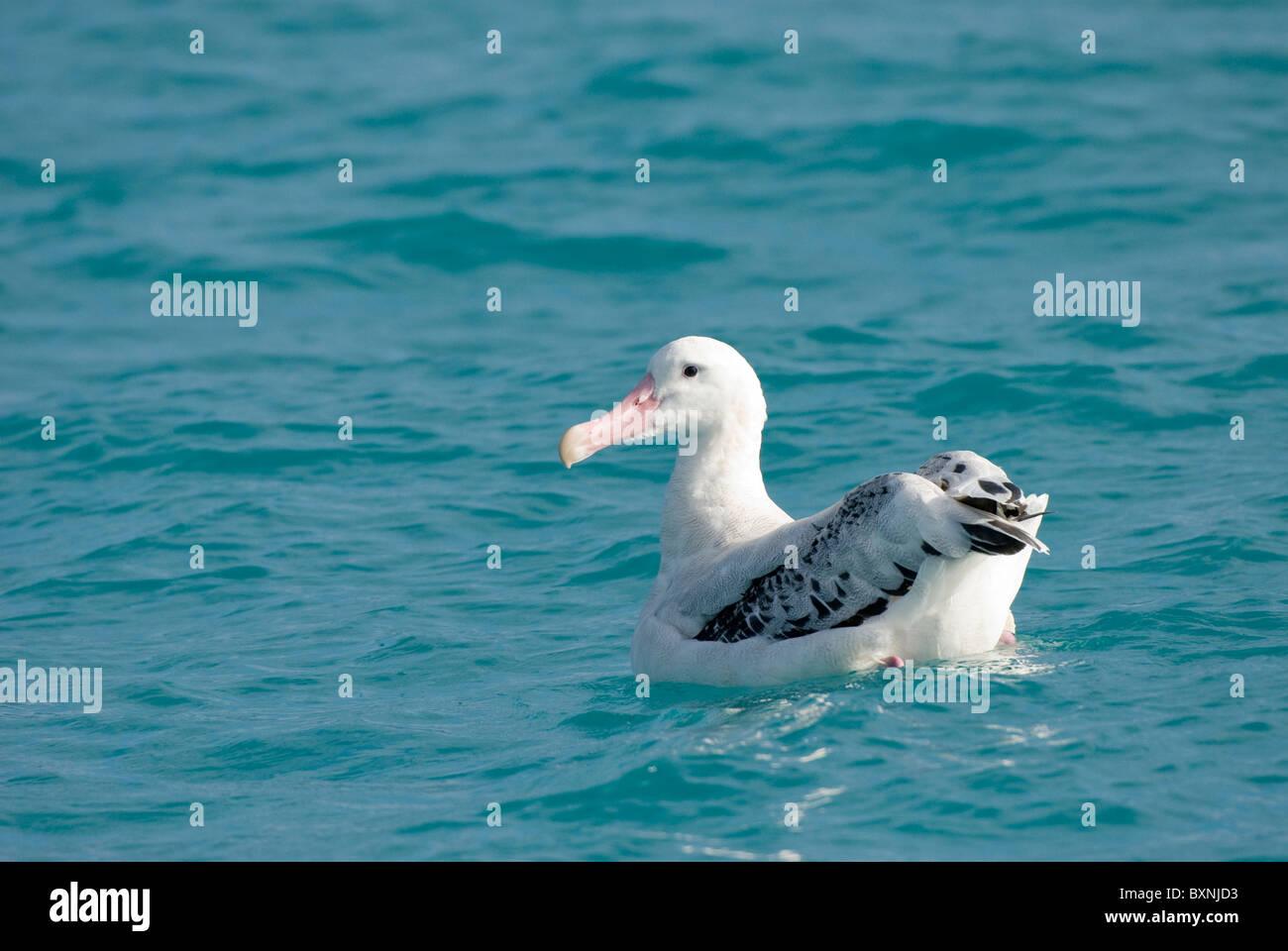 Wandering Albatross (Diomedea exulans exulans). Kaikoura, New Zealand - Stock Image