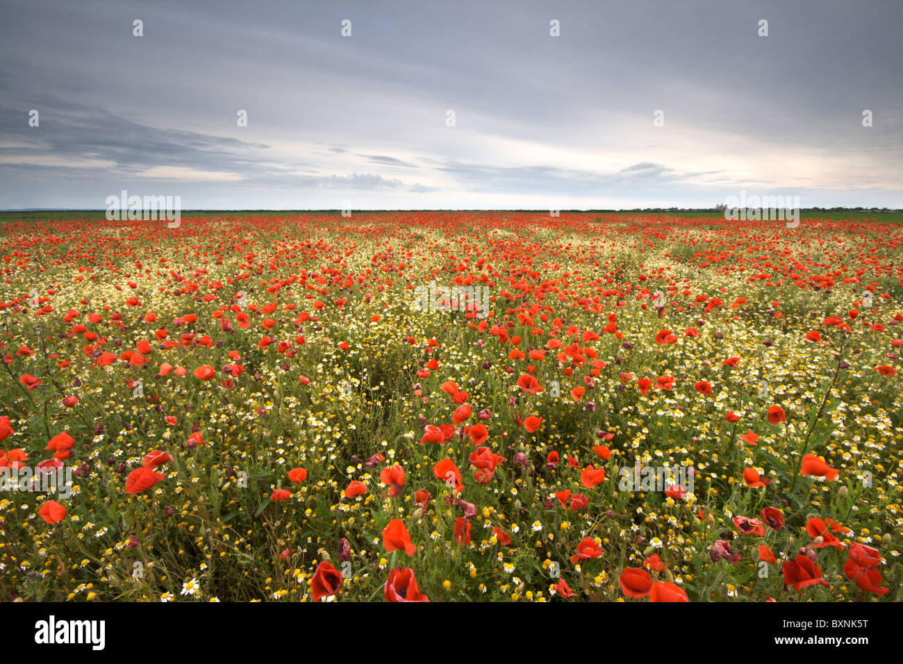 A vast field of vivid red poppies and other wild plants Stock Photo