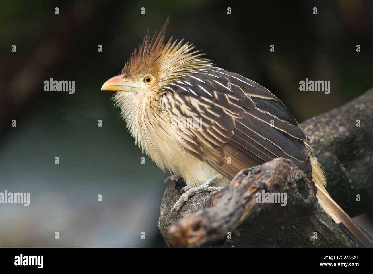 Guira Cuckoo Guira guira World of Birds Cape Town South Africa Captive - Stock Image