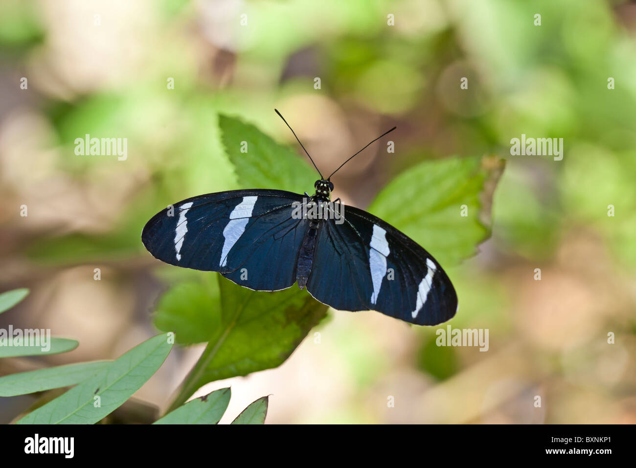 Blue Heliconius butterfly resting on leaf Stock Photo