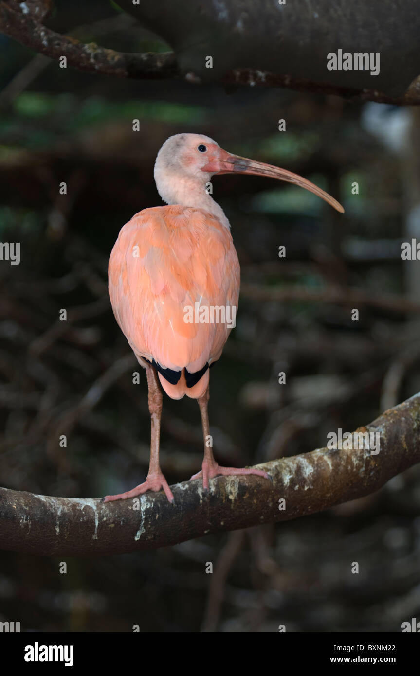 Scarlet Ibis Eudocimus ruber World of Birds Cape Town South Africa Captive - Stock Image