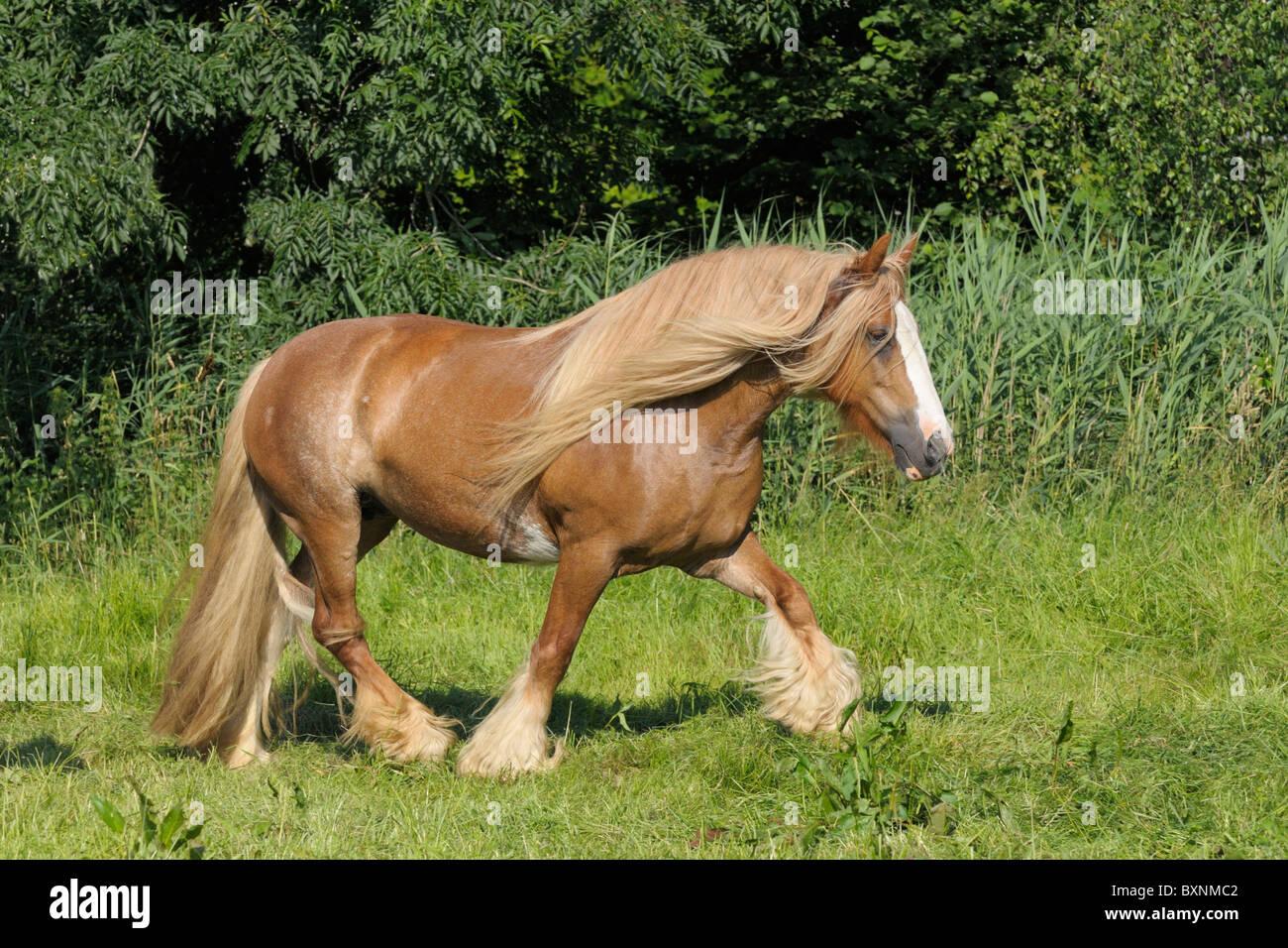 Irish Tinker horse trotting in the field - Stock Image