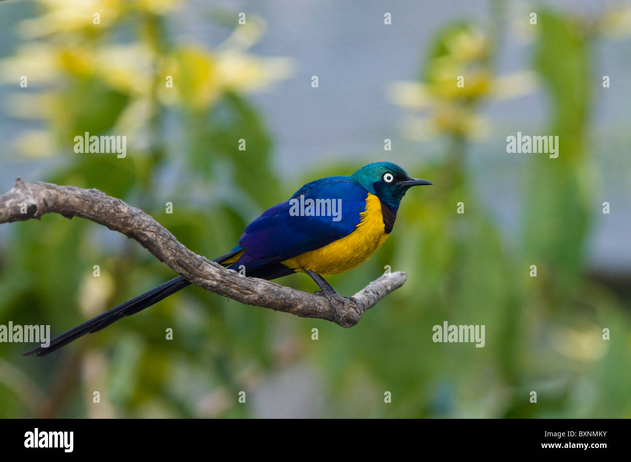 Golden-Breasted Starling (Cosmopsarus regius), World of Birds, Cape Town, South Africa - Stock Image