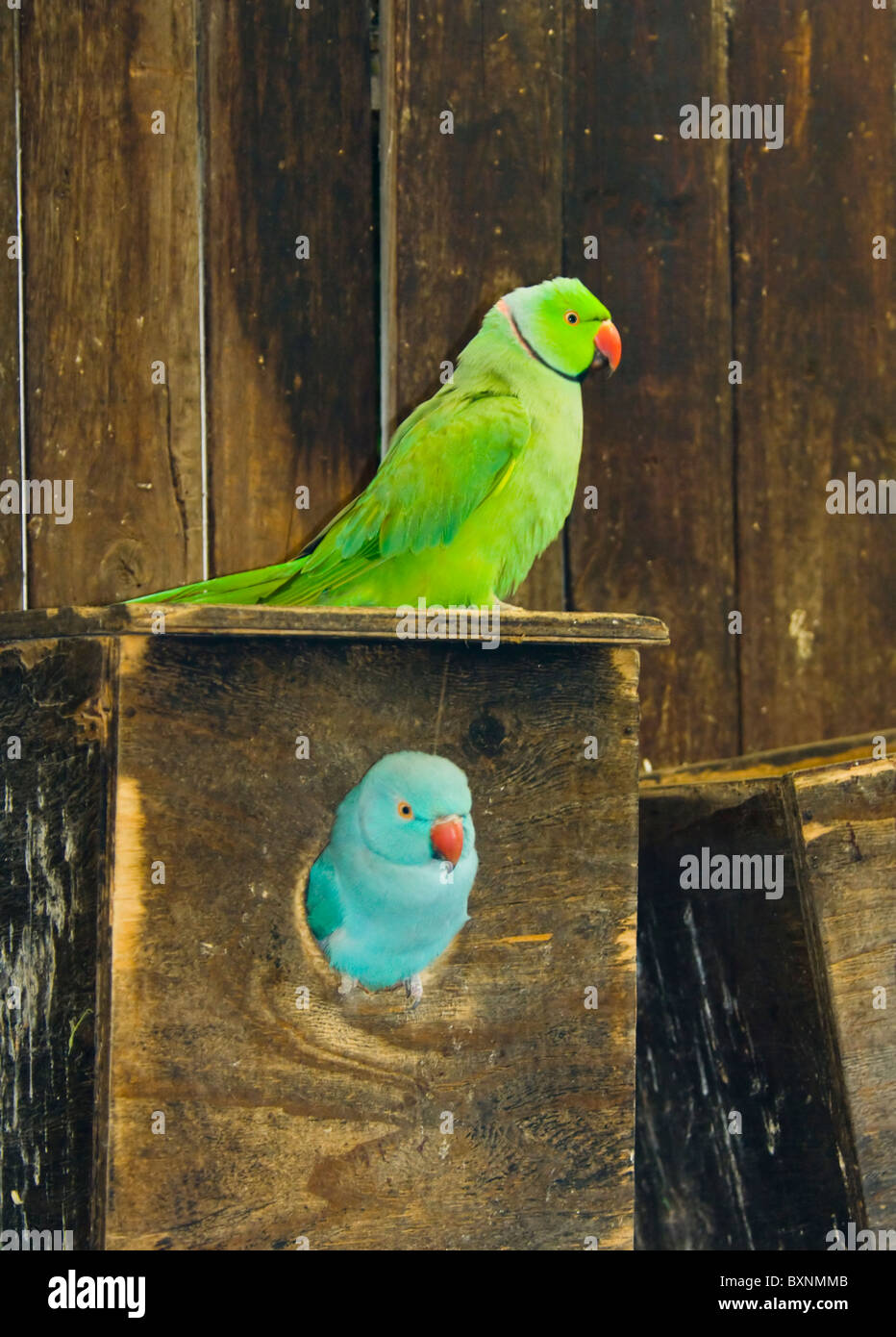 Indian Ringneck Parakeet Psittacula krameri manillensis World of Birds Cape Town South Africa Captive - Stock Image