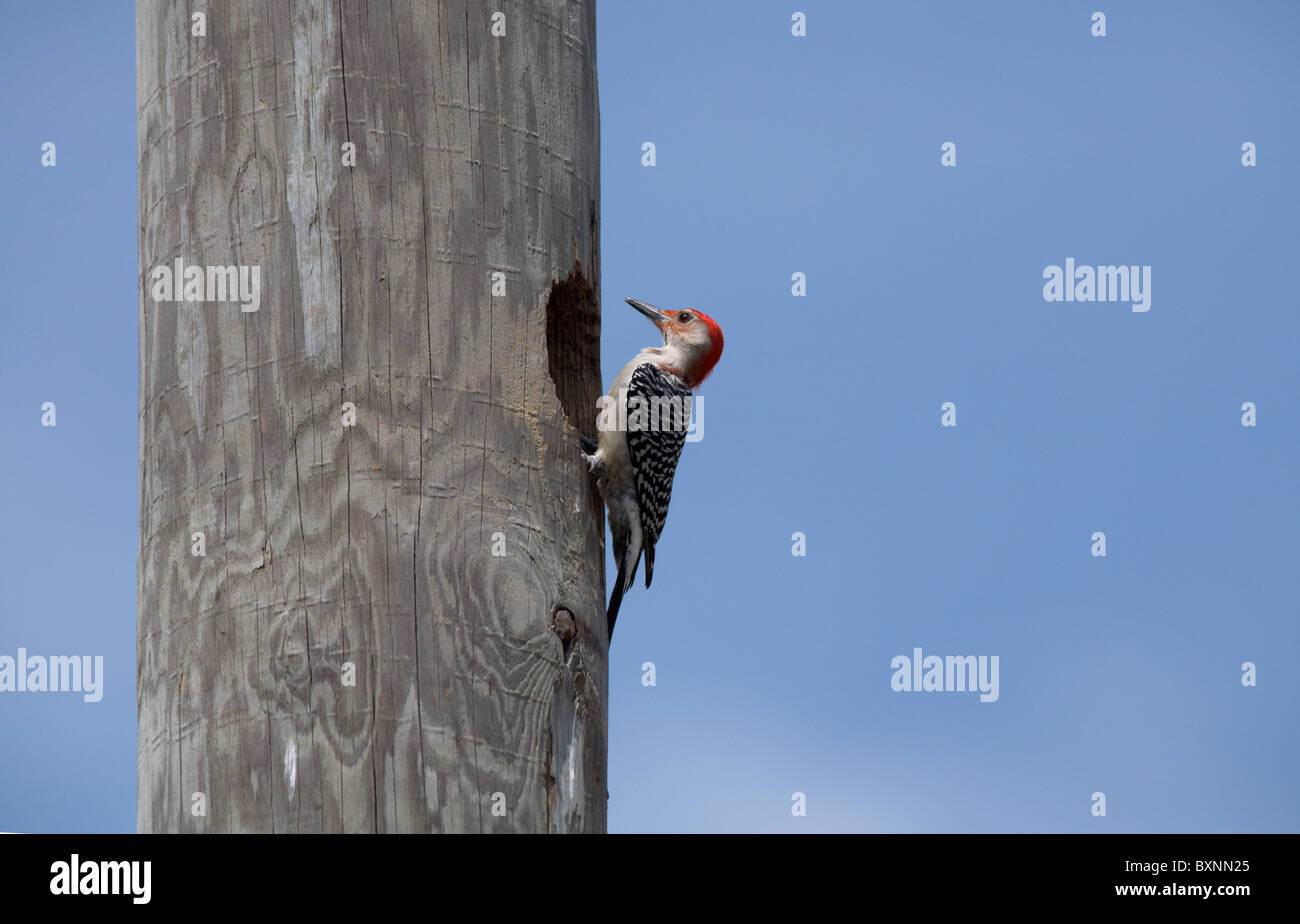 Male red-bellied woodpecker (Melanerpes carolinus) on a telegraph pole, in Florida USA - Stock Image