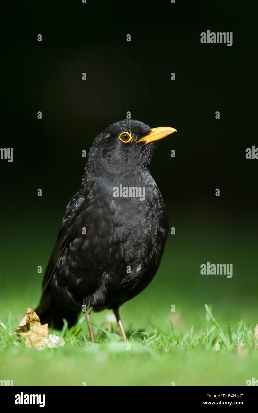 male blackbird Turdus merula - Stock Image