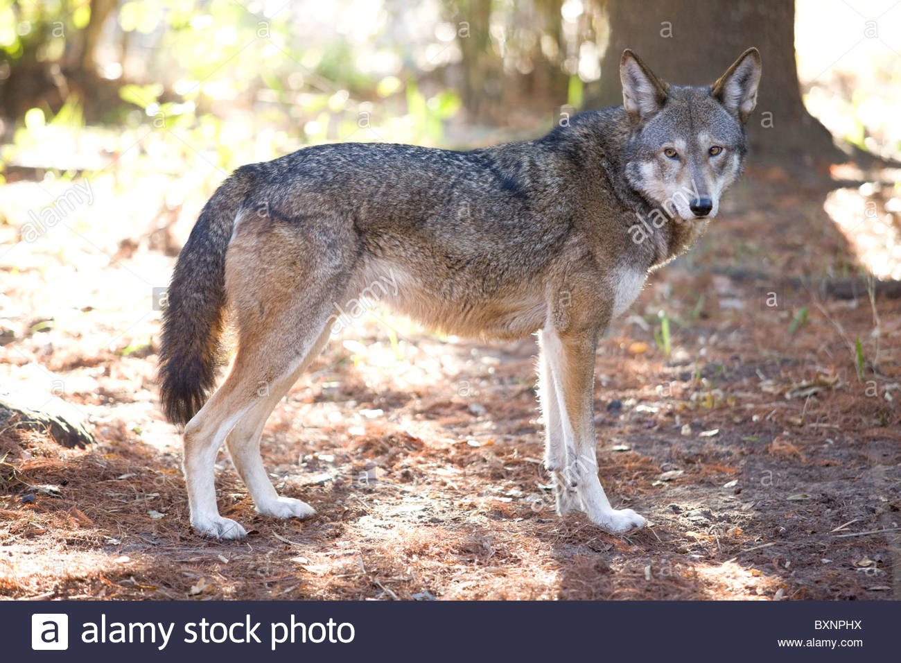 Red Wolf Florida Stock Photos & Red Wolf Florida Stock