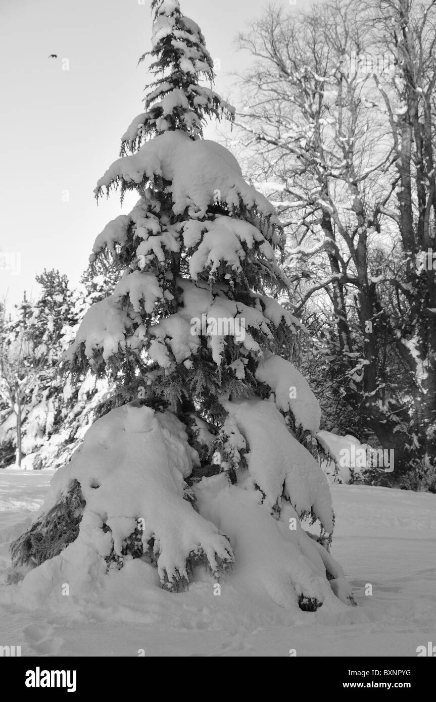 christmas tree under the snow - black and white - Stock Image