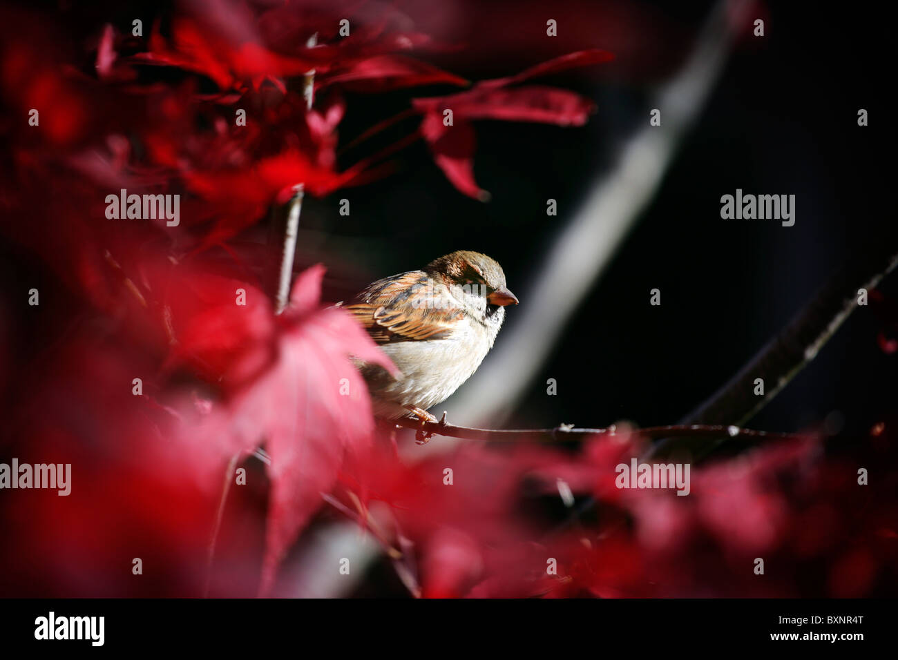 A sparrow sitting on a branch amid new england fall and autumn colored leaves. - Stock Image