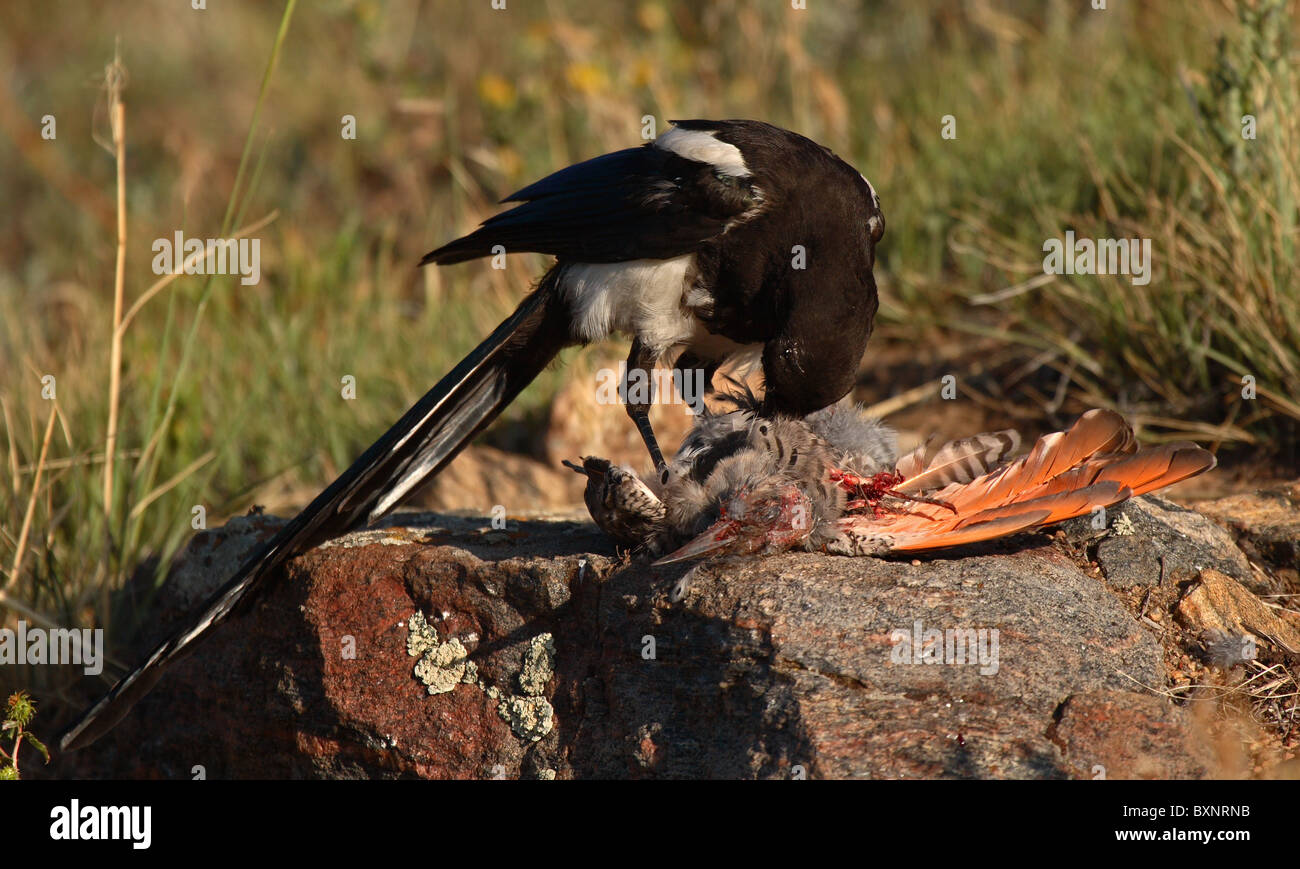 A Magpie gorging on the insides of a Flicker. - Stock Image