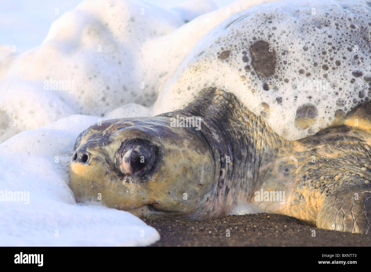 Olive Ridley Turtle emerges from ocean at Ostional to lay eggs during arribada - Stock Image
