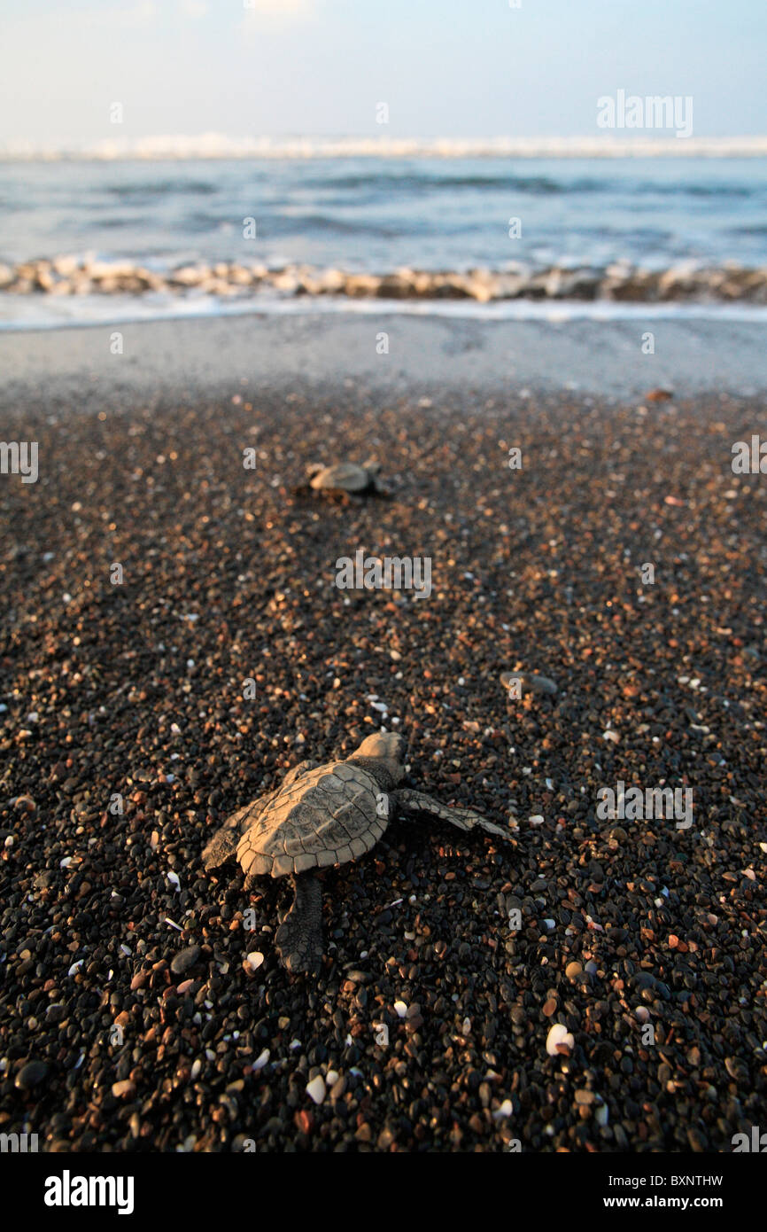 Hatchling Olive Ridley Turtles crawl to ocean after emerging from nest. - Stock Image