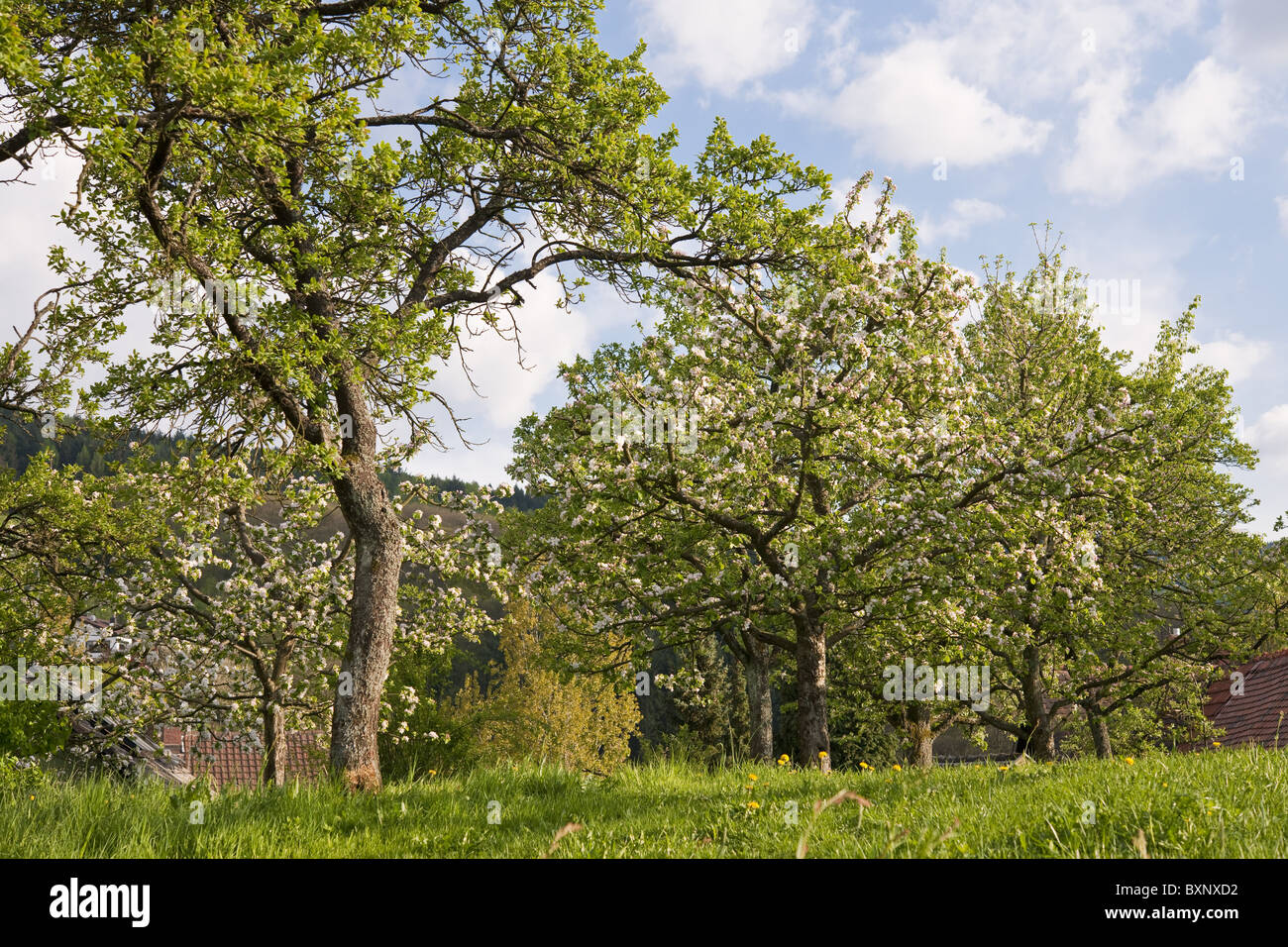 thriving fruit trees - Stock Image
