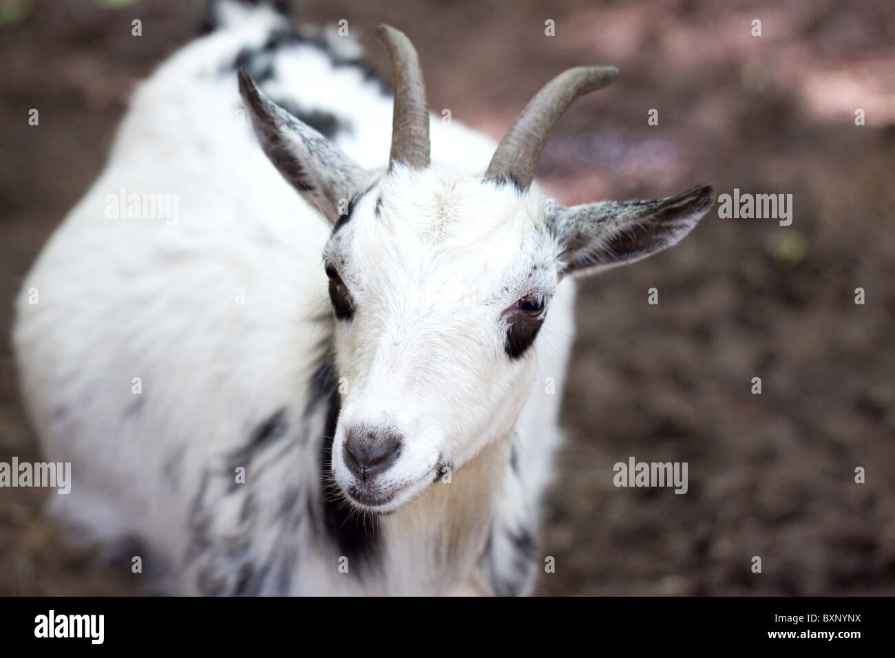A pygmy goat - Stock Image