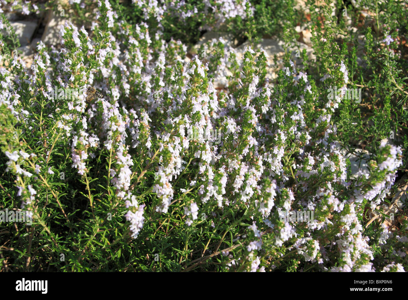 White Heather Stock Photos White Heather Stock Images Alamy