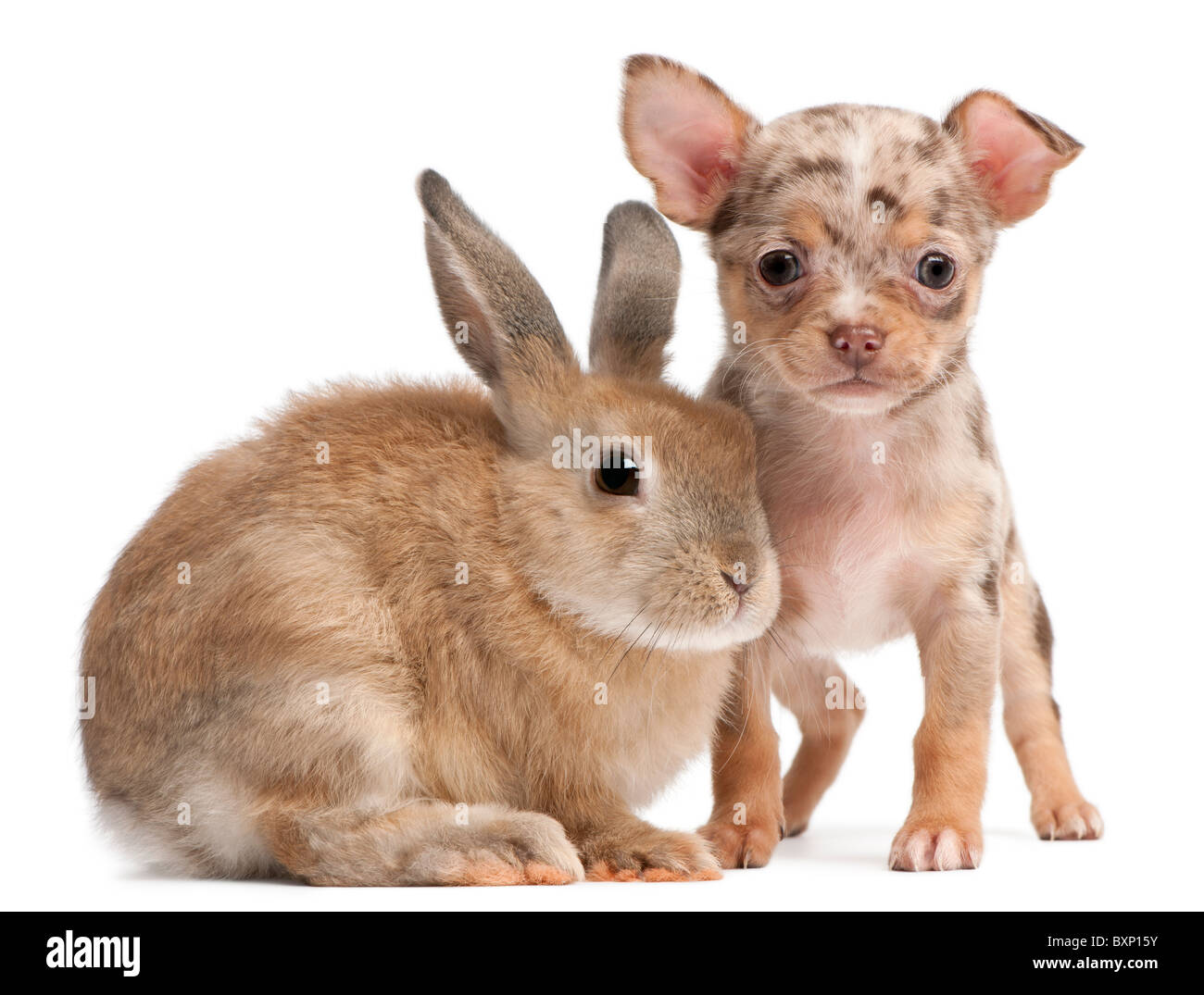 Chihuahua Puppy interacting with a rabbit in front of white background - Stock Image
