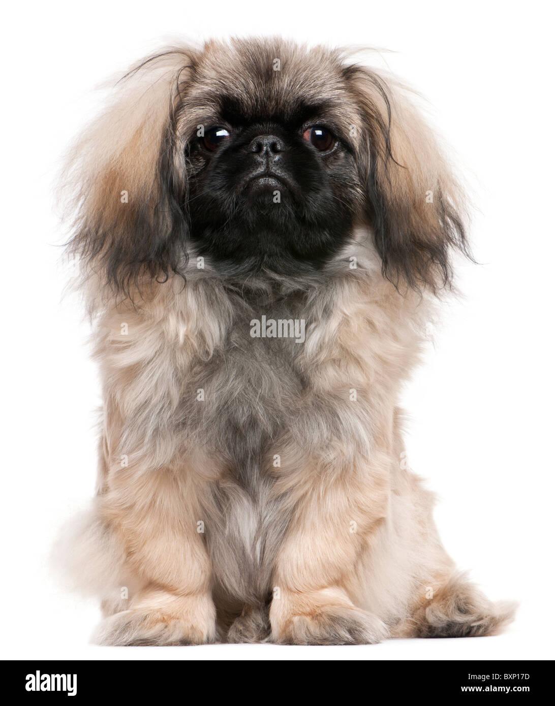 Pekingese Puppy Stock Photos & Pekingese Puppy Stock Images