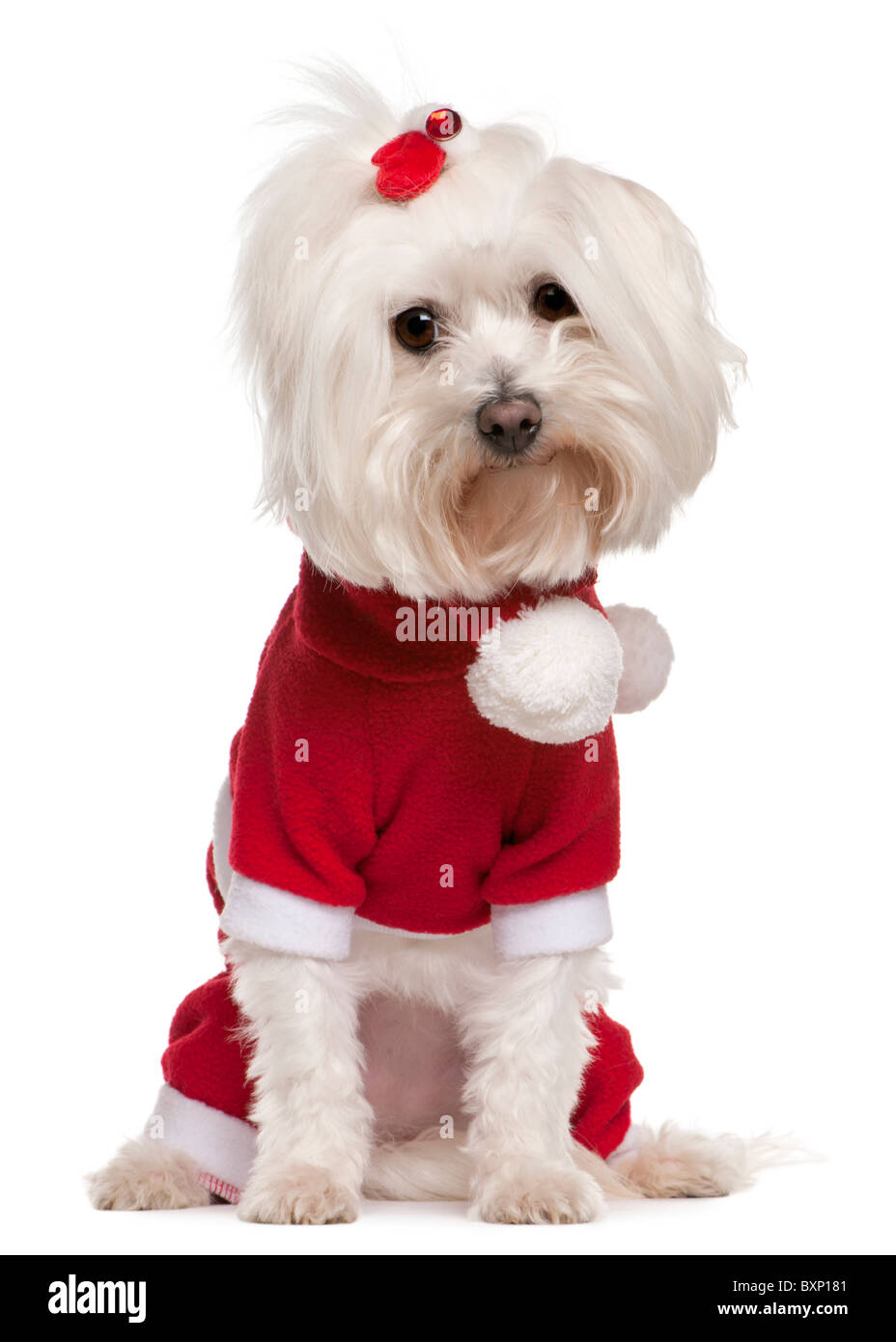 Maltese wearing Santa outfit, 4 years old, in front of white background - Stock Image