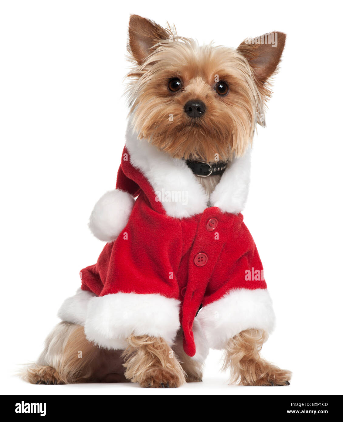 Yorkshire Terrier wearing Santa outfit, 12 months old, in front of white background - Stock Image