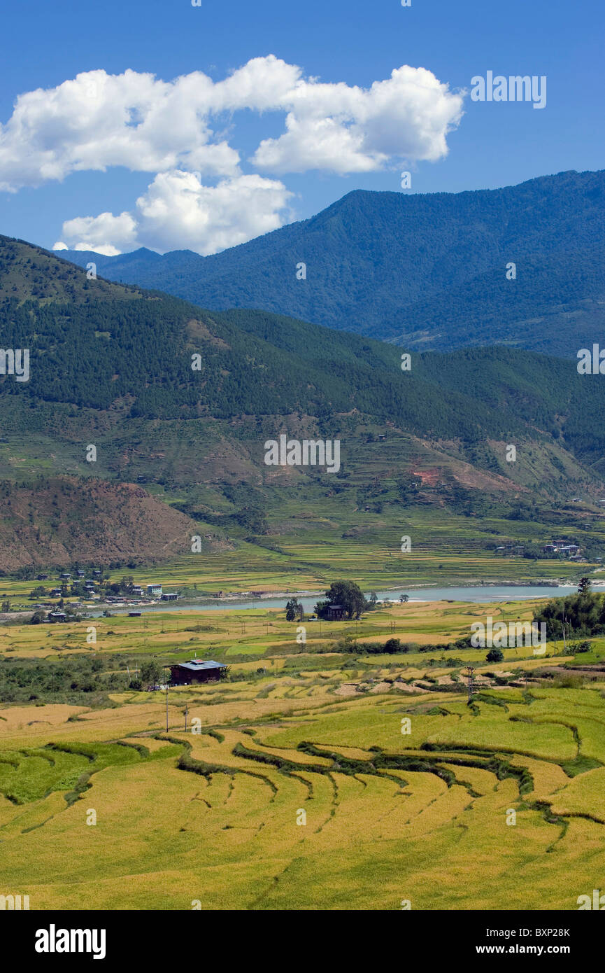 rices fields, Bhutan, Asia - Stock Image