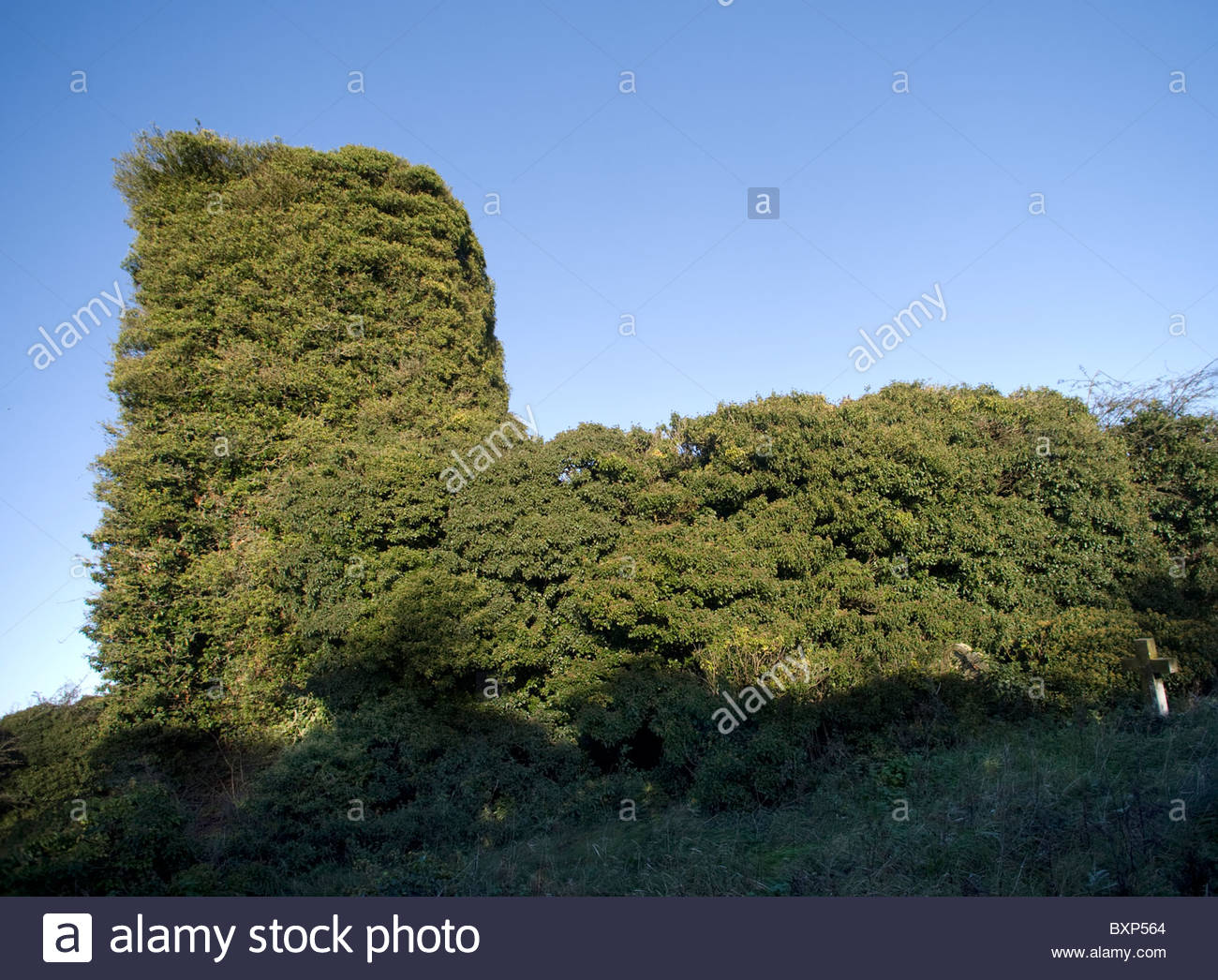 Bircham Tofts abandoned church in Norfolk, UK, completely covered with ivy. - Stock Image