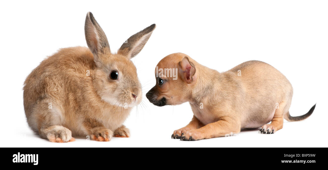 Chihuahua puppy playing with a rabbit in front of white background - Stock Image