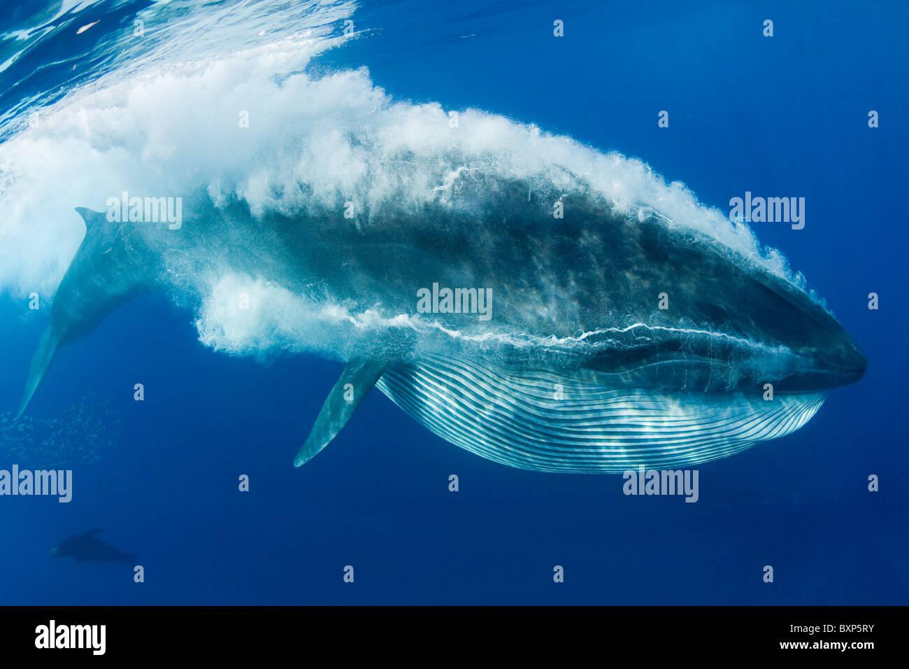 Bryde's whale, Balaenoptera brydei or Balaenoptera edeni, feeding on sardines, Baja California, Mexico ( Eastern - Stock Image