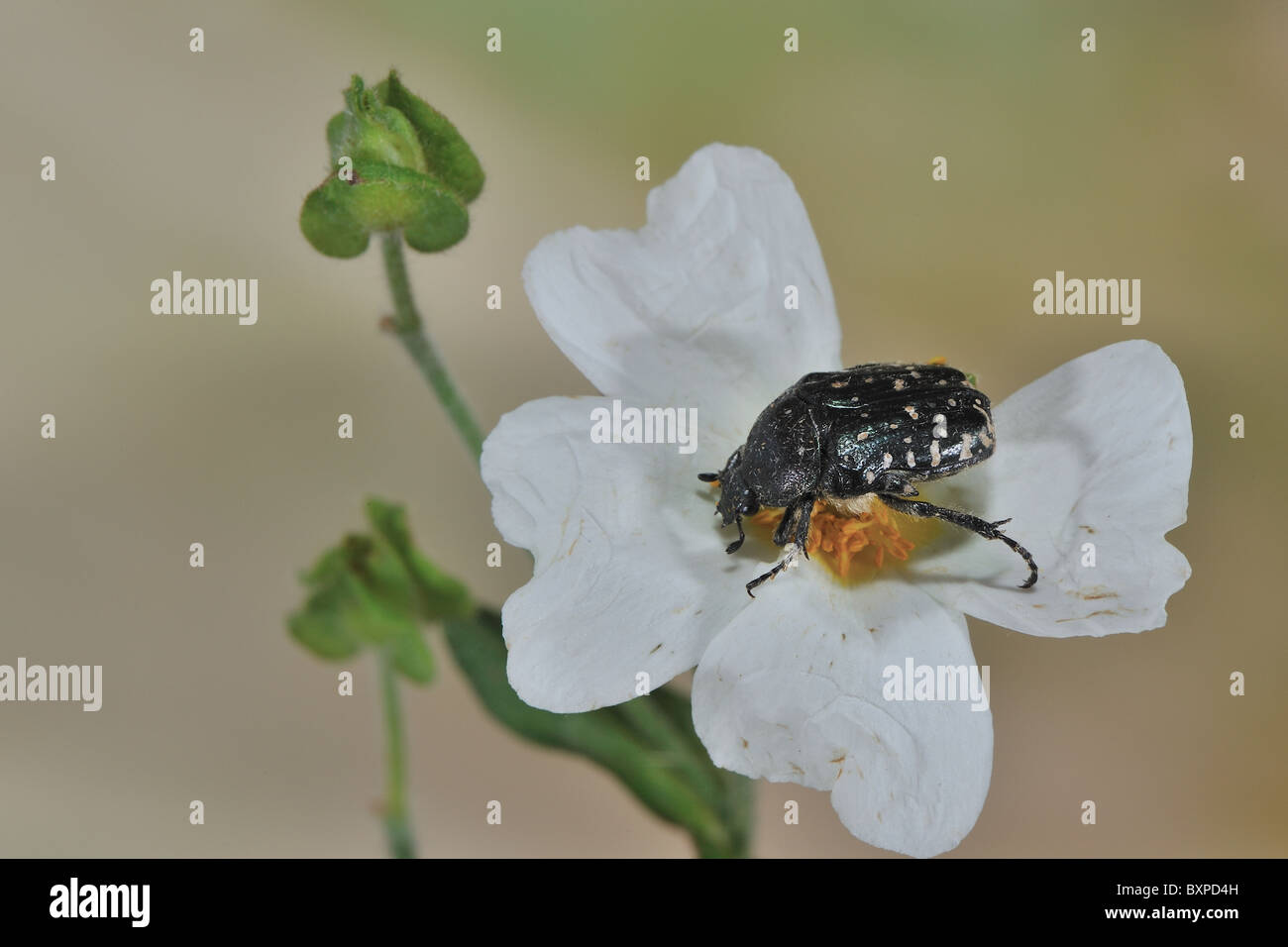 White-spotted Rose Beetle - White-spotted barbary bug (Oxythyrea funesta) eating a flower - Vaucluse - Provence - Stock Image