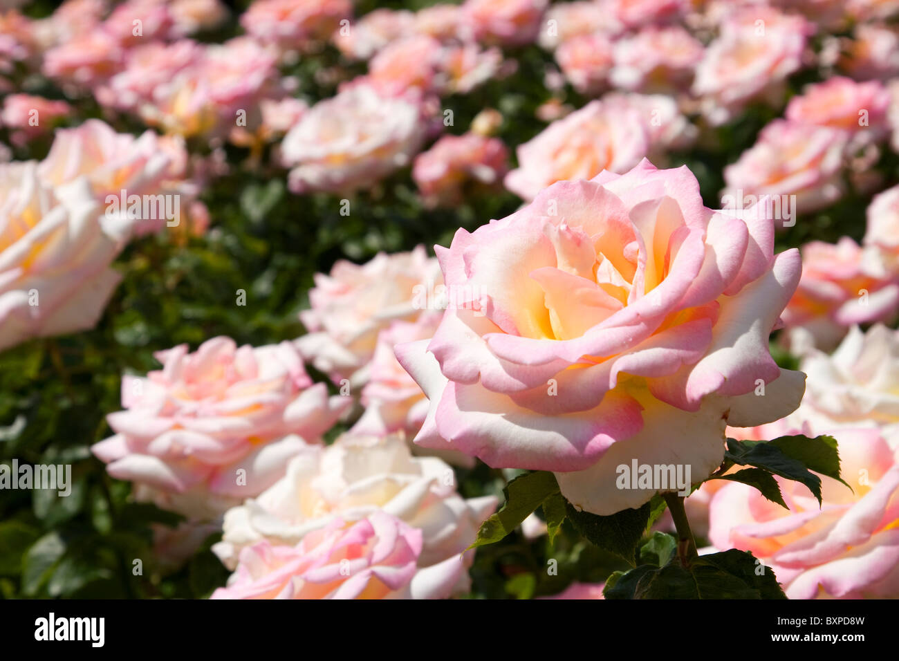 Perception rose in the Queen Mary's Gardens, Regents Park - Stock Image