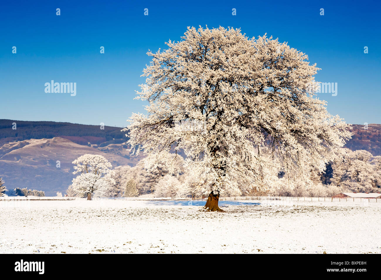 An isolated hoarfrost covered tree in the middle of a snow covered field in Winter, Scotland. - Stock Image