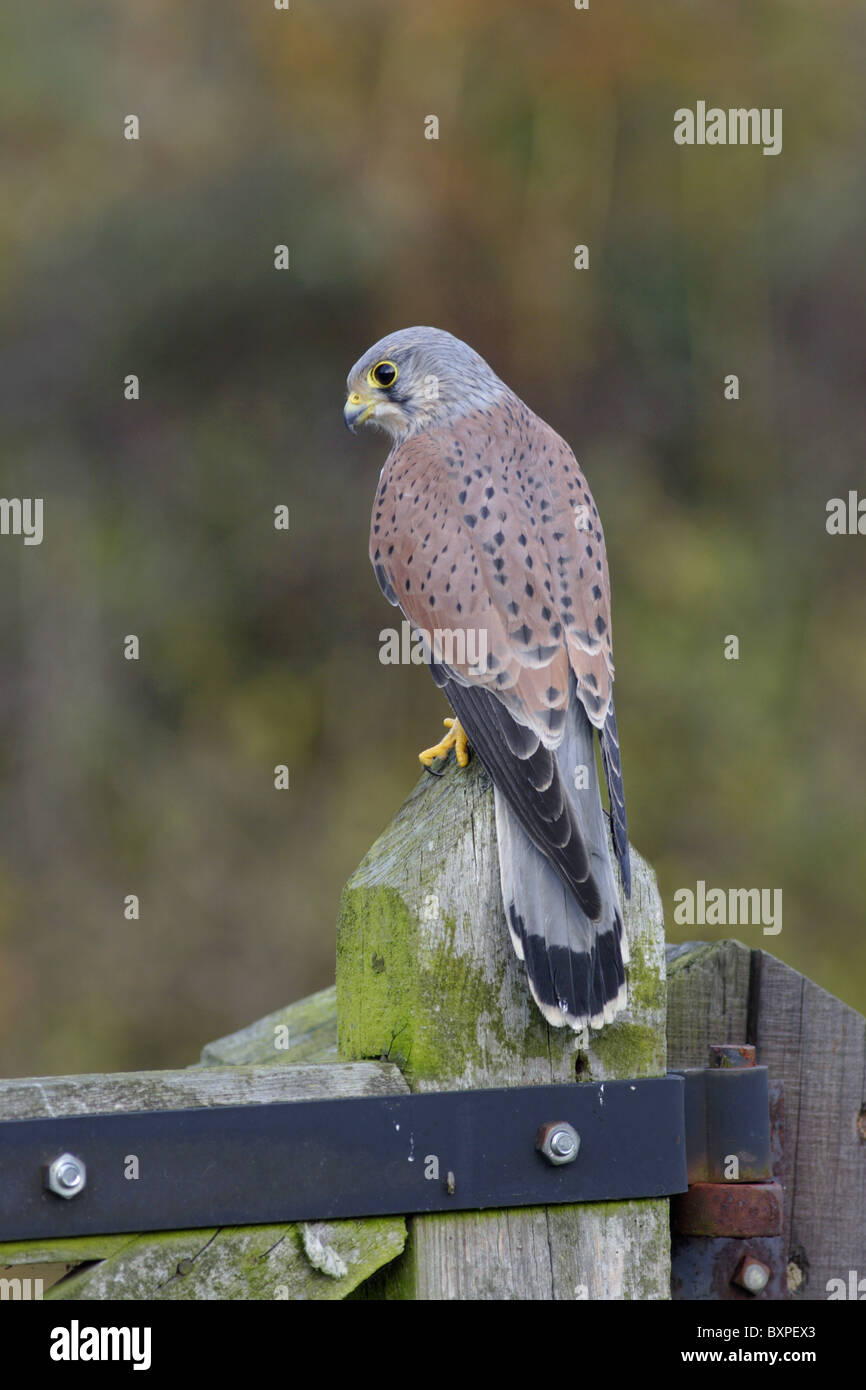 Kestrel (Falco tinnunculus) adult male, perched on farm gate, North Yorkshire, Autumn - Stock Image