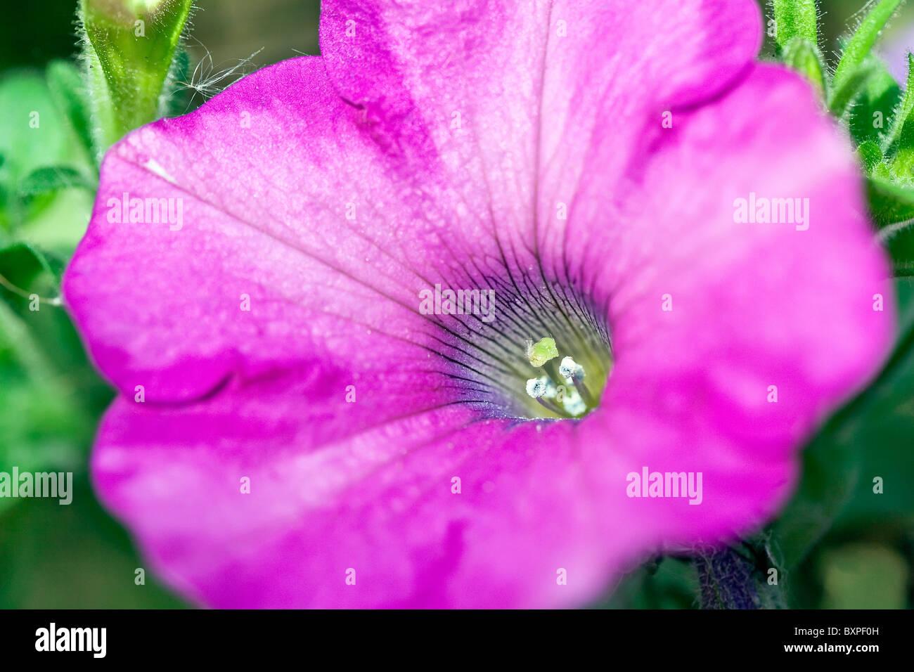 Petunia flower head, close up. - Stock Image