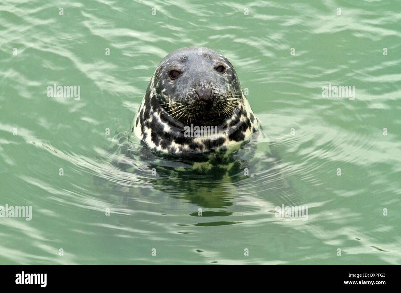 grey seal (halichoerus grypus) in Ireland Stock Photo