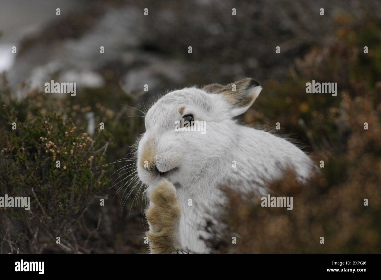 Mountain Hare (Lepus timidus) in white winter pelage grooming, Monadhliath Mountains, Highlands, Scotland, UK - Stock Image
