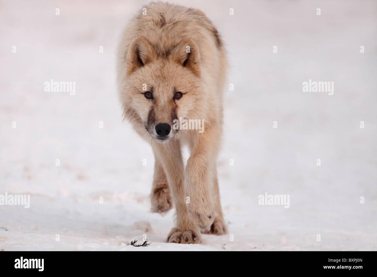 Arctic Wolf whelp, Latin: Canis lupus arctos; Polar Wolf , White Wolf - Stock Image