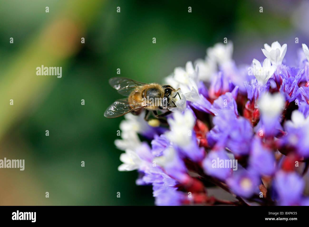 African honey bee (Apis mellifera scutellata) pollinating  flower of Statice (Sea Lavender, Papierblom) ,  Limomium - Stock Image