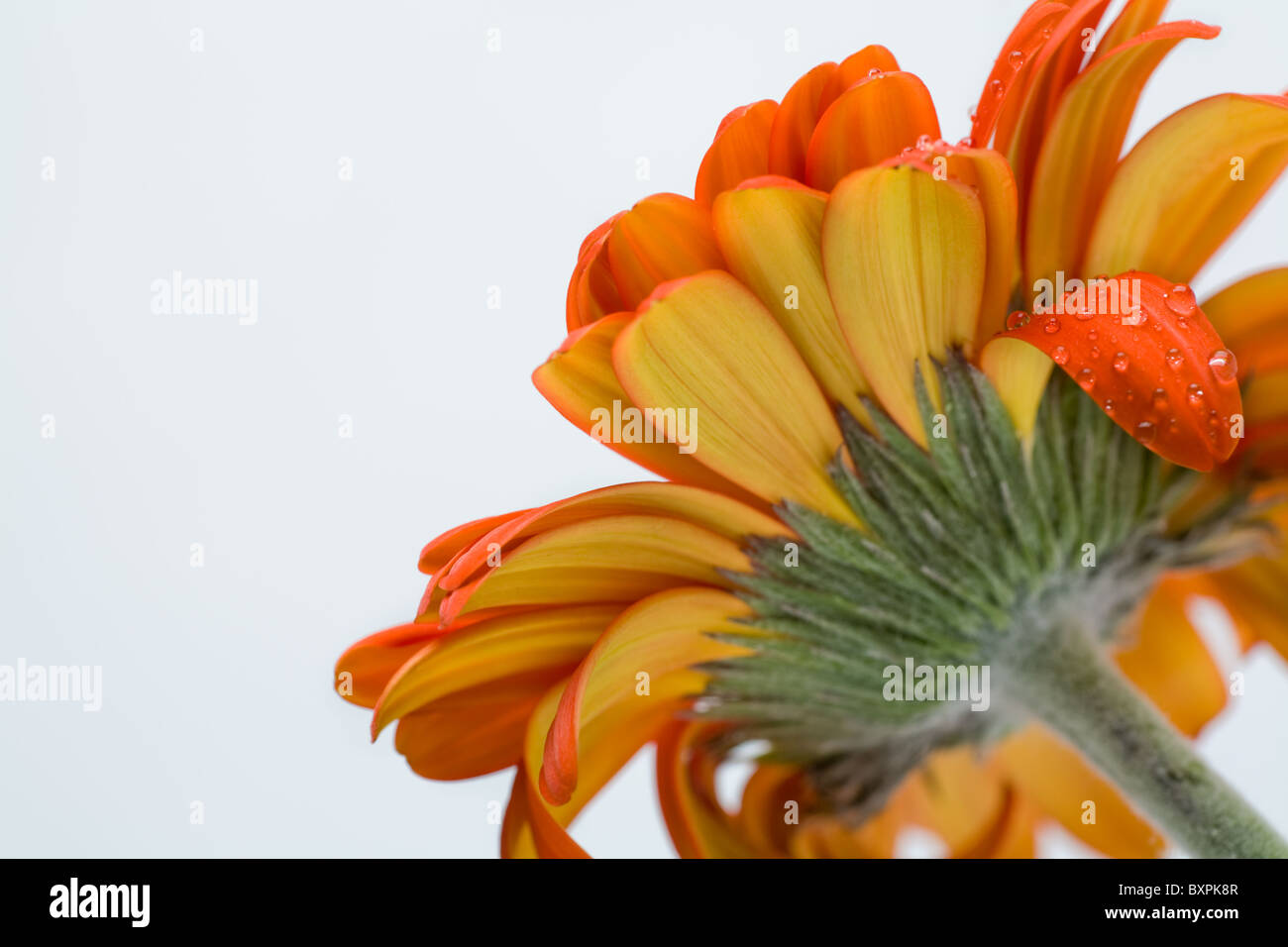 View of open bell of orange daisy from below isolated on white background - Stock Image