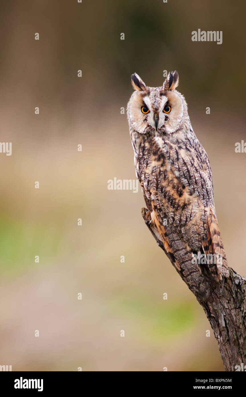 Long Eared Owl (captive bred) perched on wooden tree stump - Stock Image