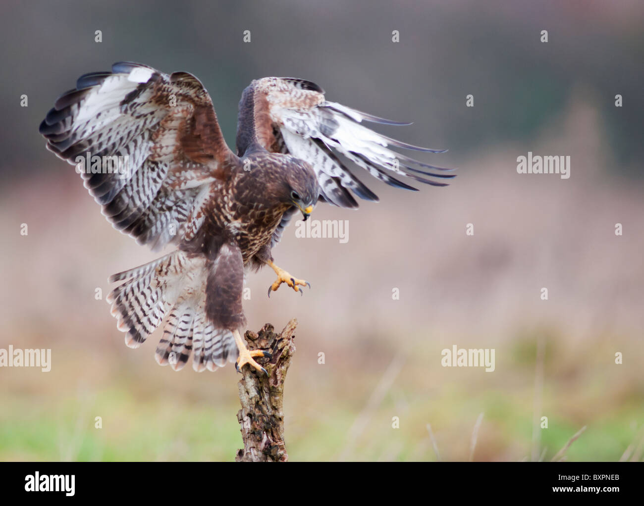 Common Buzzard, Buteo buteo landing on dead tree stump - Stock Image