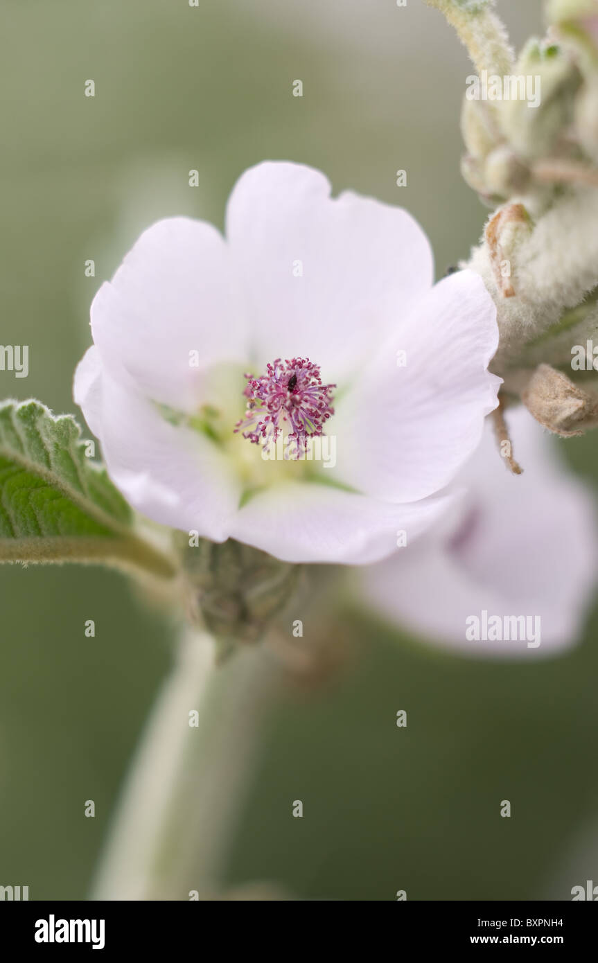 Photo of a Narrowleaf desertmallow (Sphaeralcea angustifolia) flower in central Mexico - Stock Image
