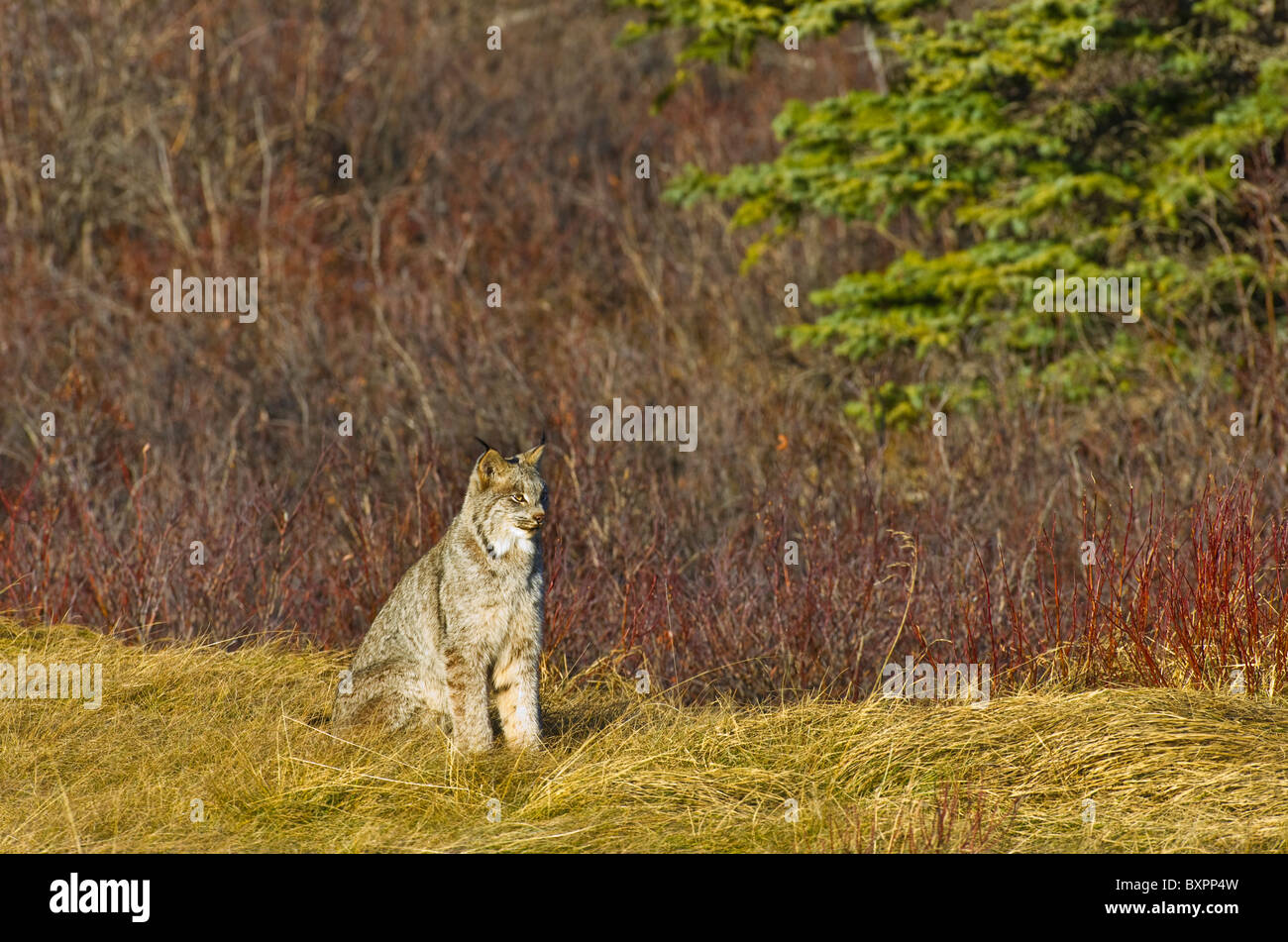 A wild Canadian Lynx sitting in some fall grasses - Stock Image