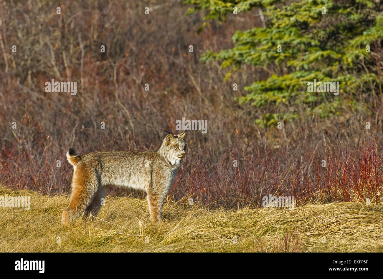 A side view image of a wild Canadian Lynx - Stock Image