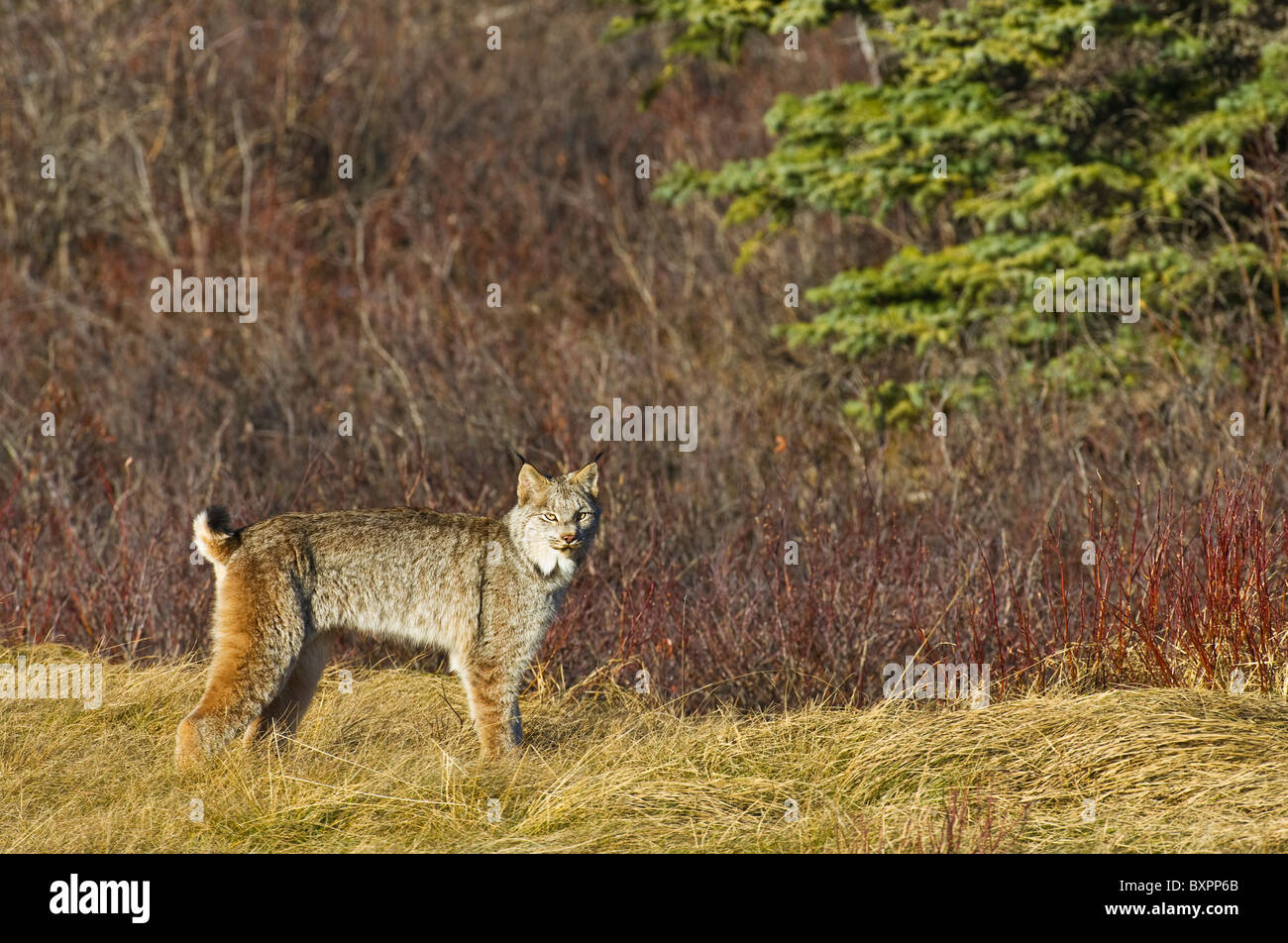 A wild Canadian Lynx - Stock Image