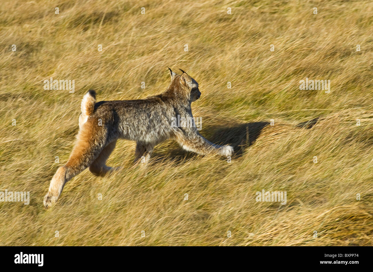 A wild Canadian Lynx moving away quickly in a running motion through the deep fall grass. - Stock Image