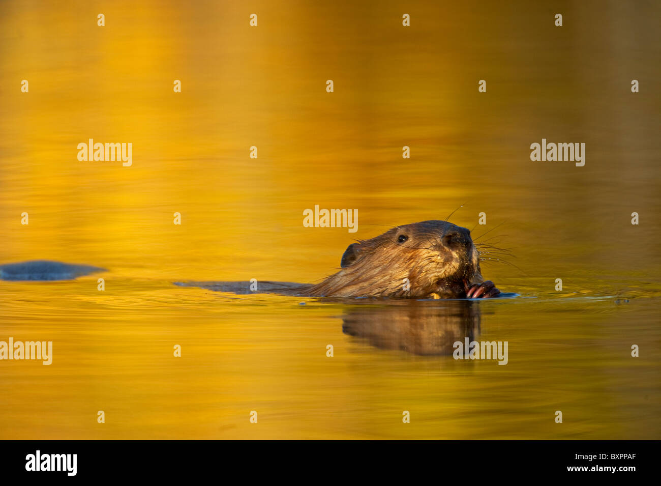 A beaver floats effortlessly through the warm tone reflection of the autumn sunlight while chewing on a stick. - Stock Image