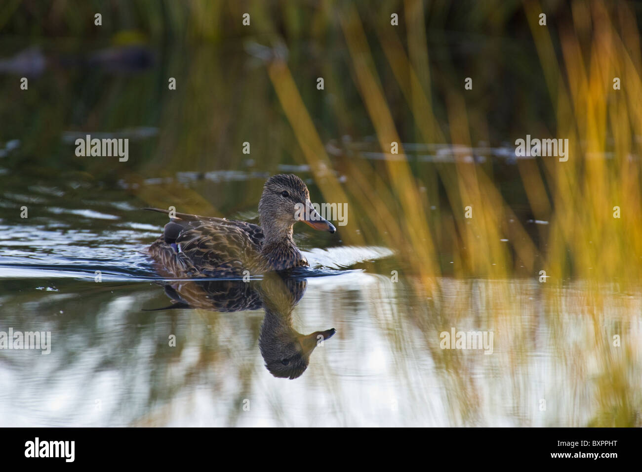 A wild female mallard duck swims through colorful fall grass reflections. - Stock Image