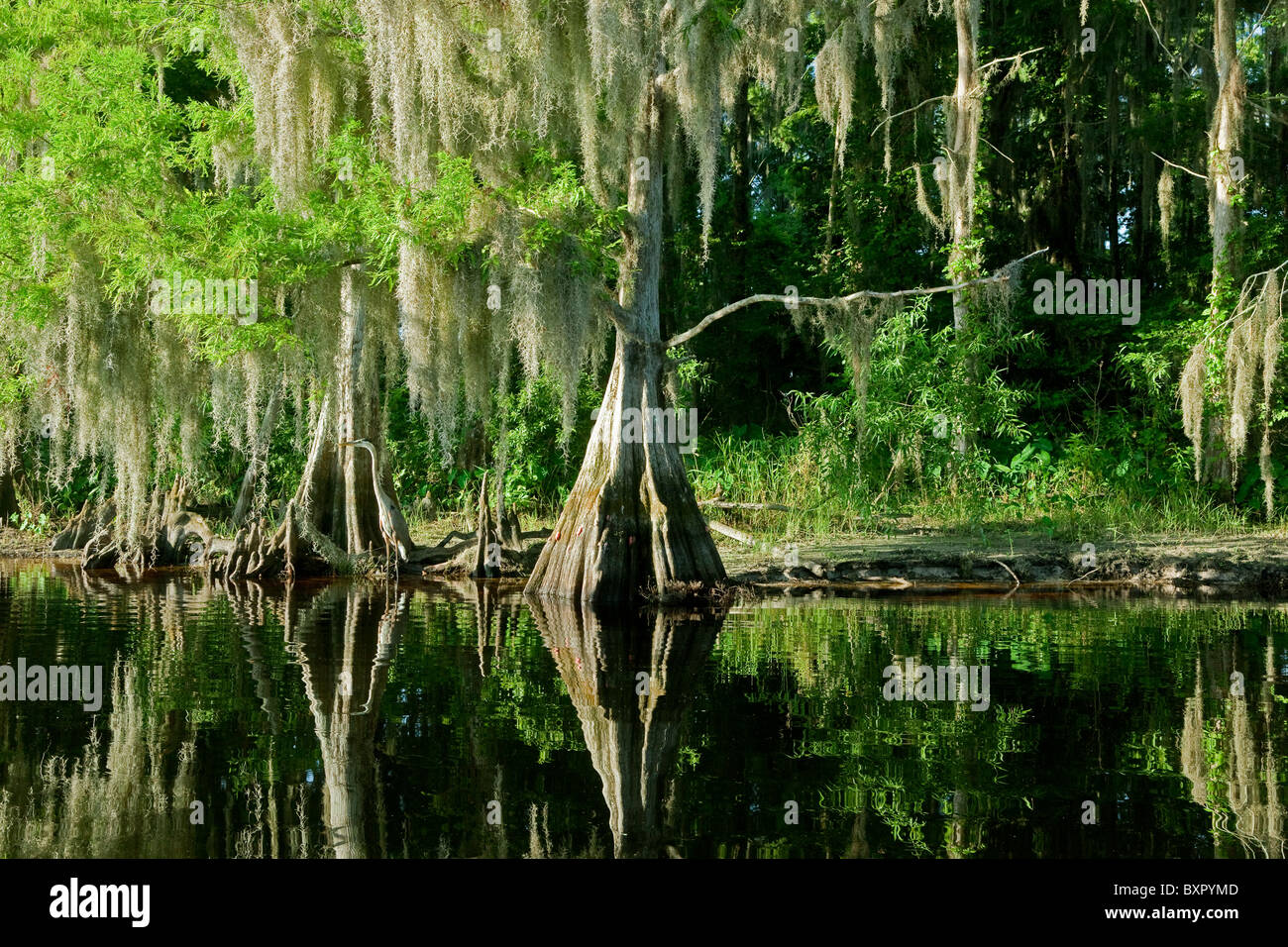 Bald Cypress Trees reflecting in the water in a florida swamp on a warm summer day - Stock Image