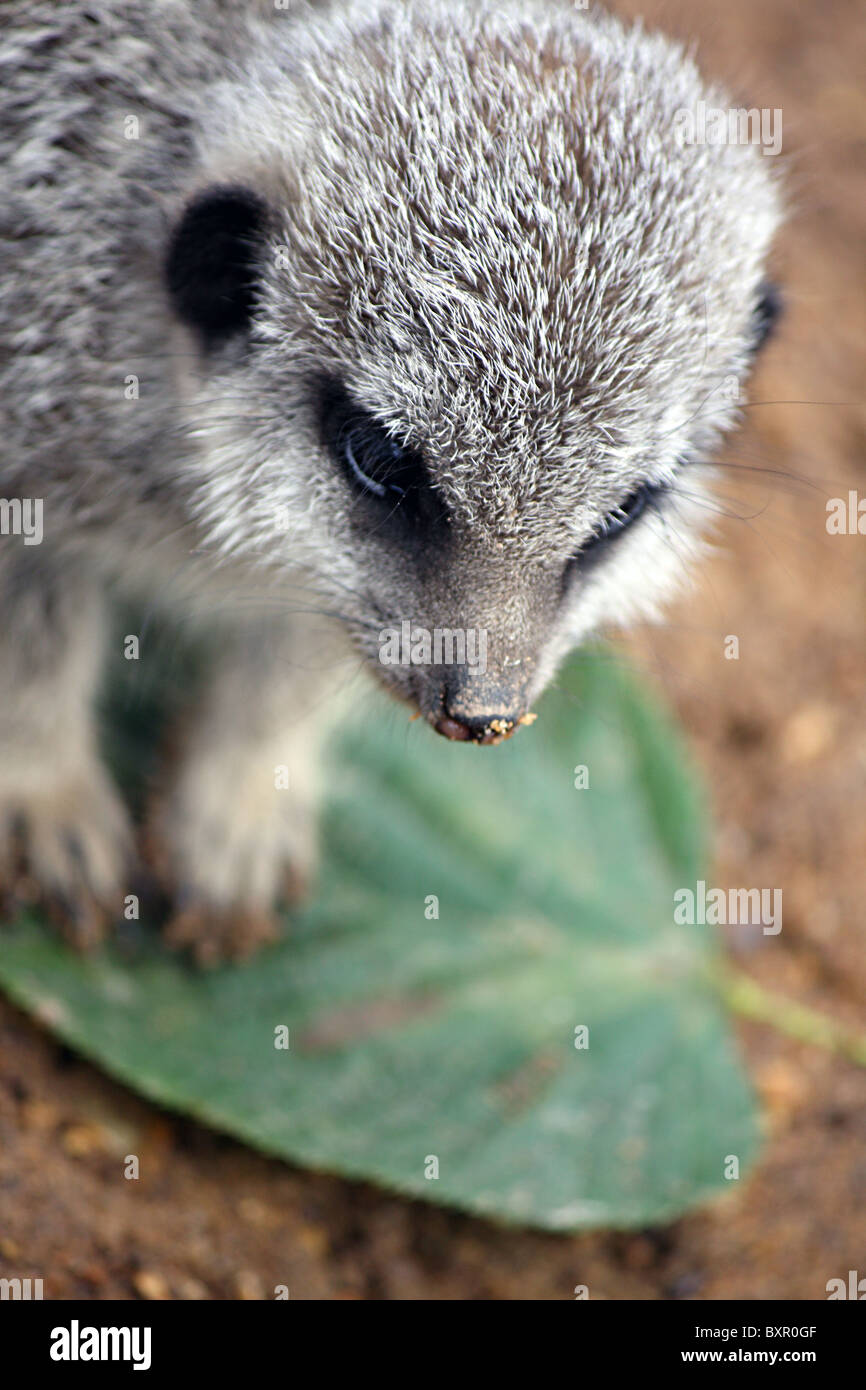 Compare The Market Meerkat Stock Photos & Compare The Market