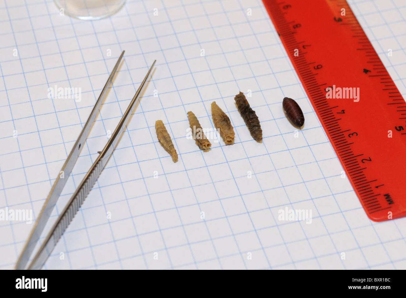 Forensics study.  An array of fly (Sarcophaga sp) larvae and pupae taken from a decomposing body. (see description) - Stock Image